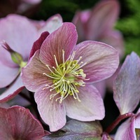 The Casual Gardener: Hellebores banish the winter blues