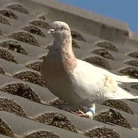 Possible reprieve for pigeon 'that hitched ride from US to Australia'