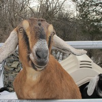 Dog and goat serving as mayor raise money for a playground in US