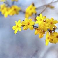 The Casual Gardener: Jasmine shines in mid-winter