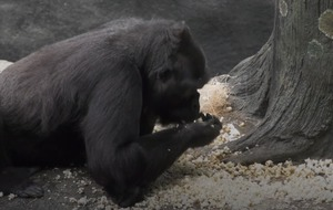 Gorillas enjoy popcorn shower at Chicago zoo