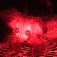 First glimpse of rare lemur born at British zoo