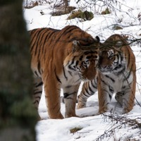 Amur tigers snuggle up in snowy surroundings together for first time