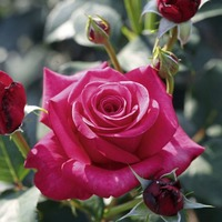 Gardening: Love is in the air – but which rose is right for your garden?