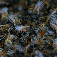 Man dies after attack by 'aggressive' swarm of bees