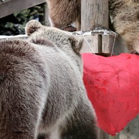 Bear cubs roll around in the snow after tearing into heart-shaped pinatas