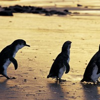 Daily parade of little penguins to be livestreamed for the UK
