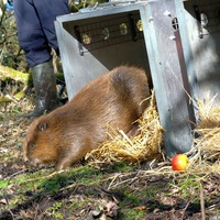 Beaver comeback continues with reintroductions in five more counties in 2021