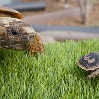 Keepers celebrate success of pancake tortoise breeding programme