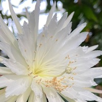 Rare Moonflower cactus blooms for 'first time in UK'