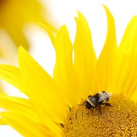 Home gardens are biggest source of food for pollinating insects, research finds