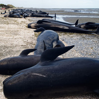 Fears remain over 40 beached whales refloated in New Zealand