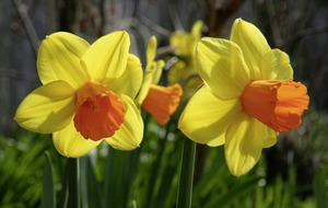 Gardening: How to choose the right daffodil for the right spot