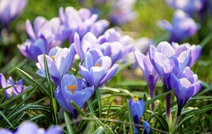 The Casual Gardener: Crocuses signal that spring is on the way