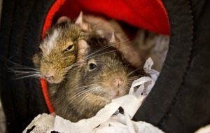 UK's 'loneliest degu' finally finds love after series of rejections