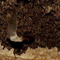 Bats equipped with mini computers reveal echo hunting techniques