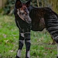 Rare 'African unicorn' calf born at Chester Zoo