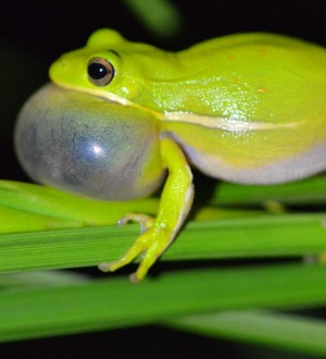 Lungs like noise-cancelling headphones help frogs hear mates, study shows