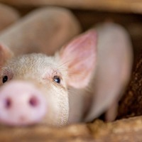 Labour shortages could lead to pigs being slaughtered at birth, Agriculture Minister Edwin Poots says