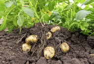 The Casual Gardener: Spuds you like