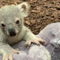 Koala joey named in tribute to homeland