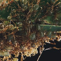 Chris Packham to explore how ants also social distance when infected