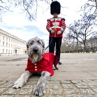 Irish Guards mascot to partake in first ceremonial engagement