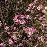National Trust urges Britons to celebrate blossom season every year