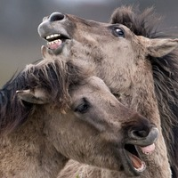 Powerful stallions spar together in display of dominance