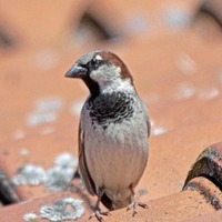 Future looking brighter for humble house sparrow