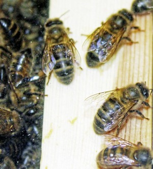 Mid Ulster council to support campaign to ban import of honey bees