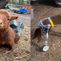 Paralysed lamb gets new lease of life with modified dog wheelchair