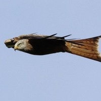Public asked to report red kite sightings