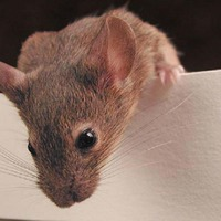 Male mice socially distance from sick females, research shows