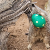 Monkeys and meerkats given Easter egg treats