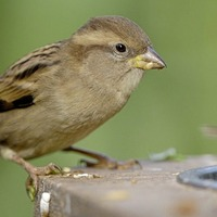 House sparrow takes top spot in record-breaking bird watch survey
