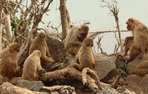 How monkeys made more friends after their island was devastated by hurricane