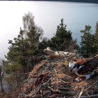 Female osprey lays third egg of the season at loch reserve