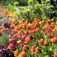 Gardening: Why are my tulips lacking in stature this year?