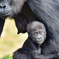 Baby gorilla at Bristol Zoo named after parents