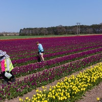 Tulips burst into colour in fields in East Anglia