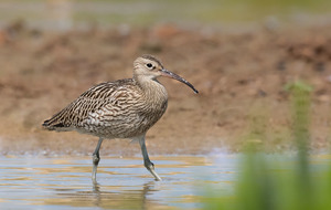 Conservationists' joy as two curlew chicks return to Lough Neagh