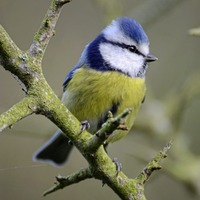 Anne Hailes: How does a blue tit stream out its song without pausing for breath?