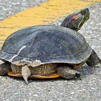 Flying turtle smashes through car's windscreen