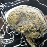 Mammal brain size often linked to evolutionary changes in body, researchers say