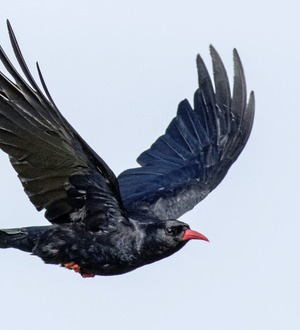 Stephen Colton's Take on Nature: Chough a Celtic coastal fire raiser