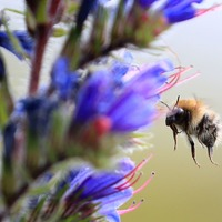 Large bumblebees more likely to forage at dawn, study finds