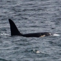 Killer whales spotted off the coast of Cornwall