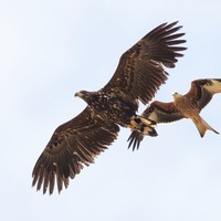 'Flying barndoor' eagles to be reintroduced to mainland England