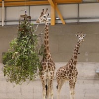 Giraffes return to Edinburgh Zoo for first time in 15 years